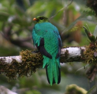 Scientific Name: Golden-headed Quetzal - Photo: Juan Liziola