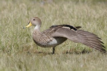 Scientific Name: Yellow-billed Pintail - Photo: Peter de Haas