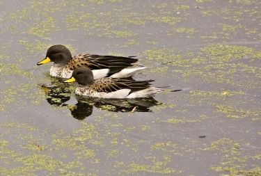 Scientific Name: Speckled Teal - Photo: Peter de Haas