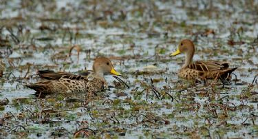Scientific Name: Yellow-billed Pintail - Photo: Tor Egil H�gs�s