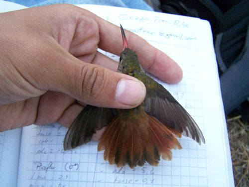 Scientific Name: Amazilia Hummingbird - Photo: Jorge Tiravanti