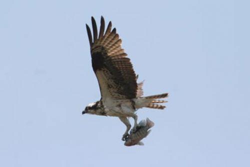 Scientific Name: Osprey - Photo: Alejandro Tabini