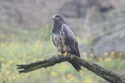 Scientific Name: Black-chested Buzzard-Eagle - Photo: Alejandro Tabini