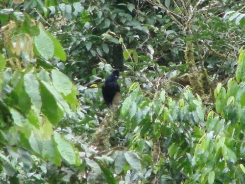 Scientific Name: Amazonian Umbrellabird - Photo: Peter R. Bono