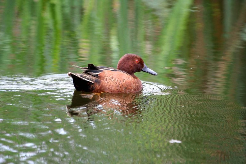 Scientific Name: Cinnamon Teal - Photo: Alejandro Tabini