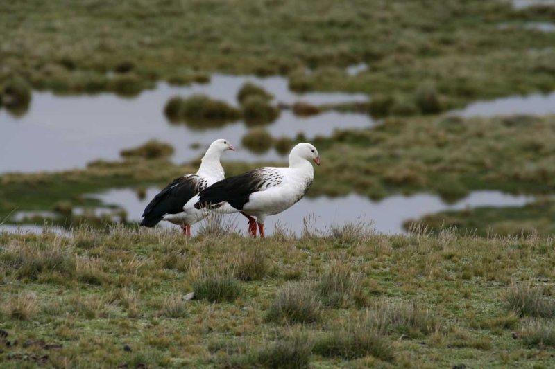 Scientific Name: Andean Goose - Photo: Alejandro Tabini