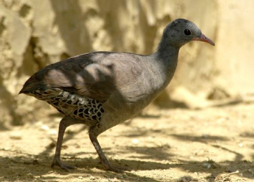 Scientific Name: Tataupa Tinamou - Photo: Michael Tweddle