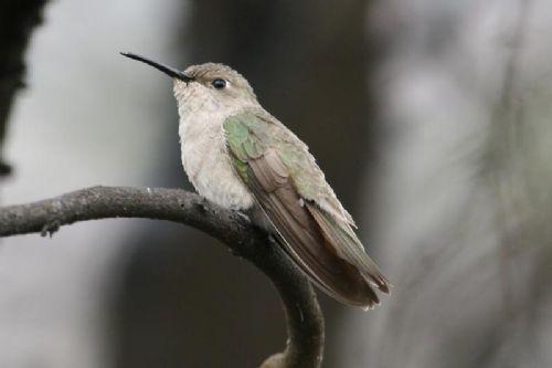 Scientific Name: Tumbes Hummingbird - Photo: Alejandro Tabini