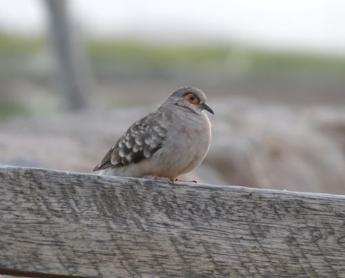 Scientific Name: Bare-faced Ground-Dove - Photo: Miguel A. Torres M.