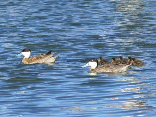 Scientific Name: Puna Teal