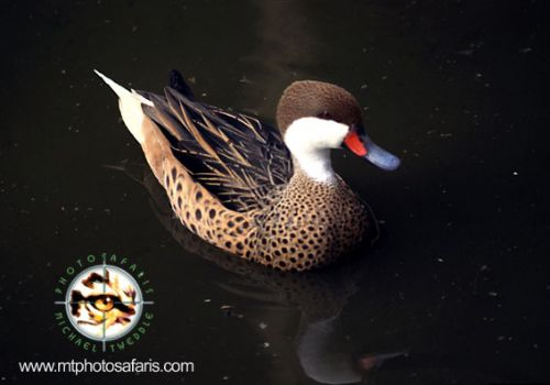 Scientific Name: White-cheeked Pintail - Photo: Michael Tweddle