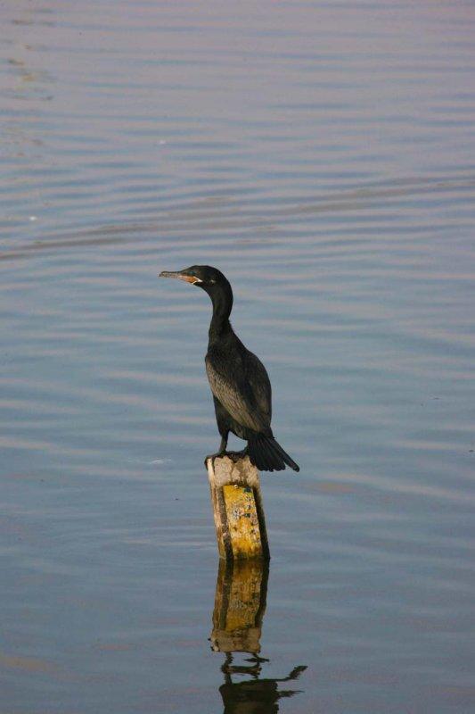 Scientific Name: Neotropic Cormorant - Photo: Alejandro Tabini