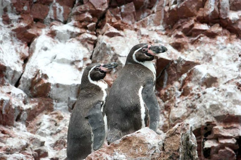 Scientific Name: Humboldt Penguin - Photo: Alejandro Tabini