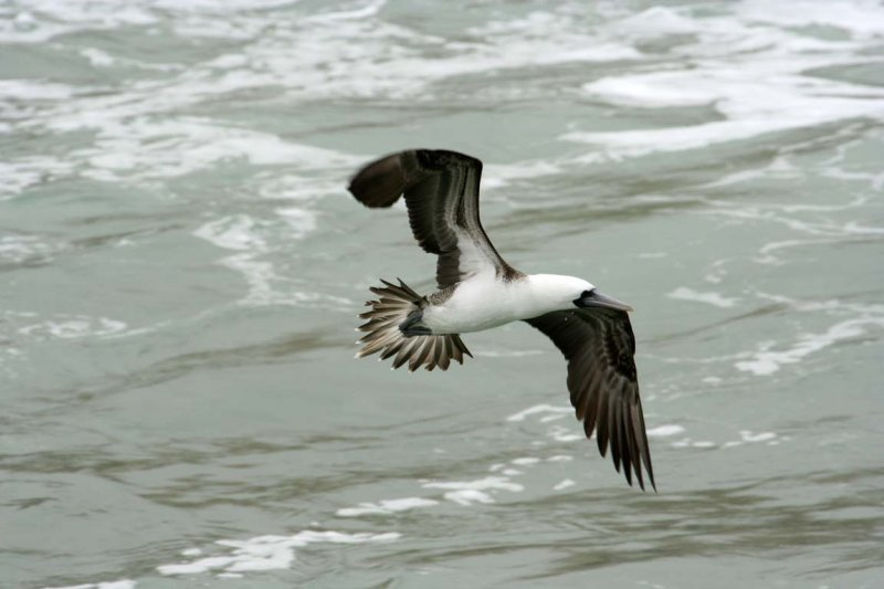 Scientific Name: Peruvian Booby - Photo: Alejandro Tabini