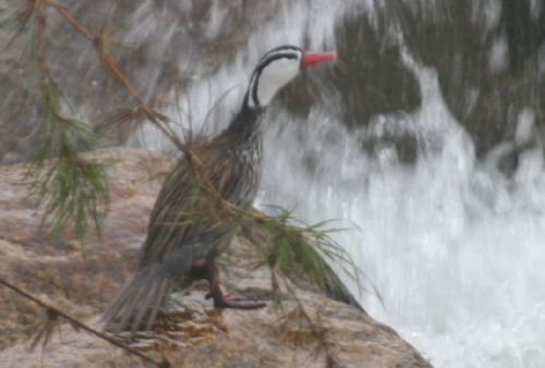 Scientific Name: Torrent Duck - Photo: Juan Liziola