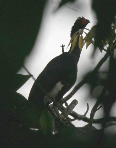 Scientific Name: Wattled Curassow - Photo: Juan Liziola