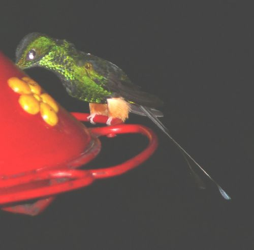 Scientific Name: Booted Racket-Tail - Photo: Larry Sirvio