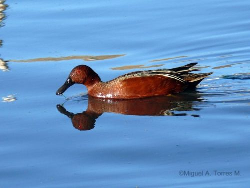 Scientific Name: Cinnamon Teal - Photo: Miguel A. Torres M.