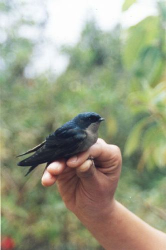 Scientific Name: Brown-bellied Swallow - Photo: Jaime Valenzuela Trujillo