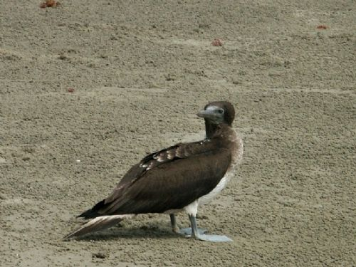 Scientific Name: Blue-footed Booby - Photo: Didier Perrocheau