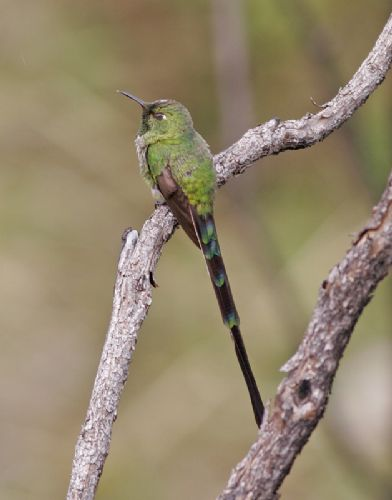 Scientific Name: Green-tailed Trainbearer - Photo: Peter de Haas