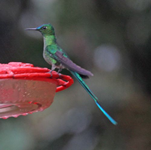 Scientific Name: Long-tailed Sylph - Photo: Larry Sirvio