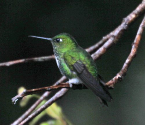 Scientific Name: Spot-throated Hummingbird - Photo: Larry Sirvio