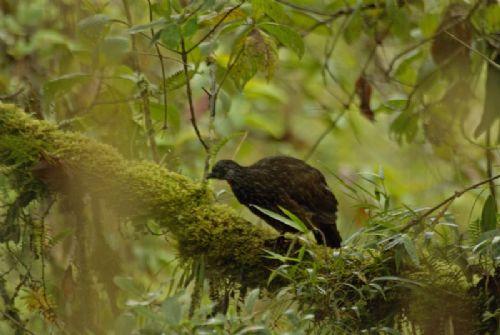 Scientific Name: Andean Guan - Photo: Didier Perrocheau