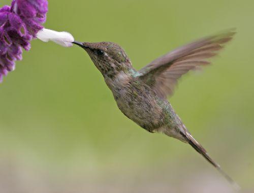 Scientific Name: Purple-collared Woodstar - Photo: Peter de Haas