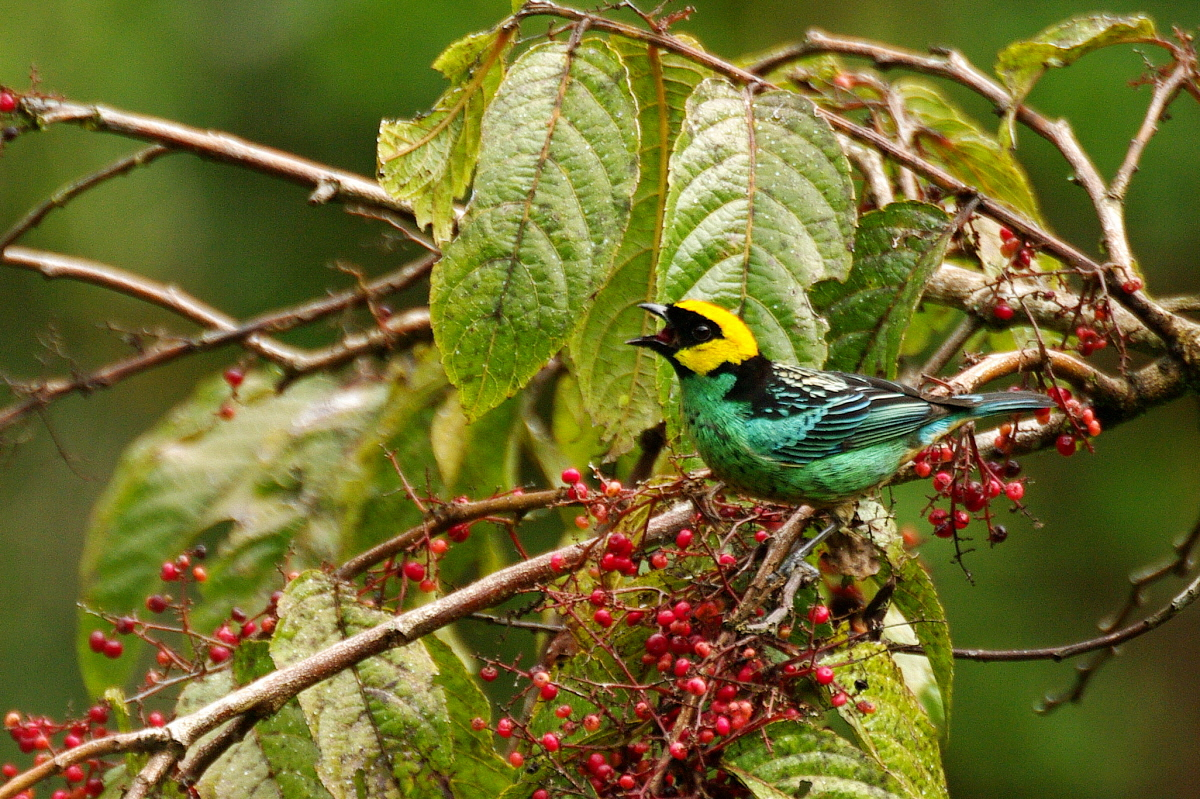 Scientific Name: Saffron-crowned Tanager - Photo: Didier Perrocheau