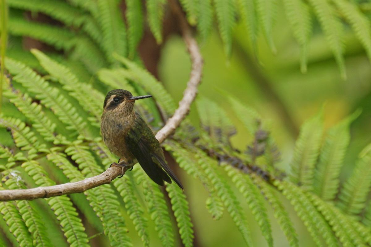 Scientific Name: Speckled Hummingbird - Photo: Didier Perrocheau