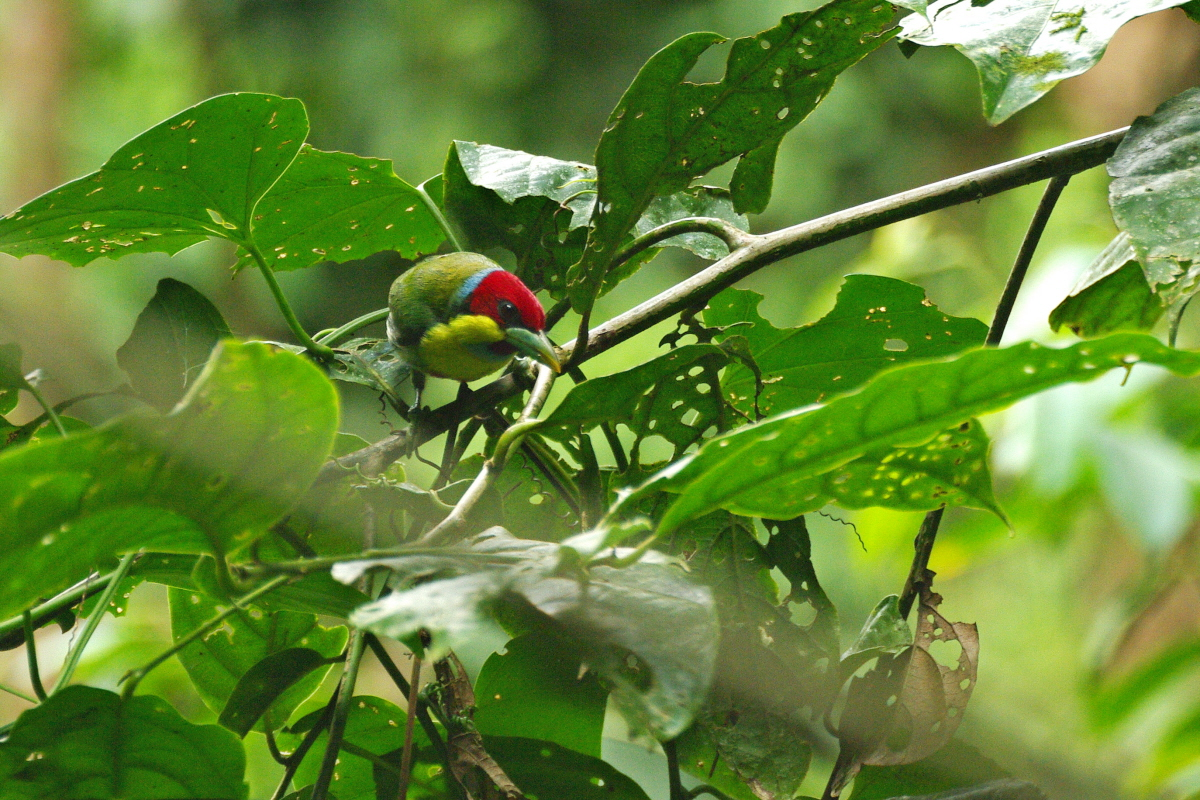 Scientific Name: Versicolored Barbet - Photo: Didier Perrocheau