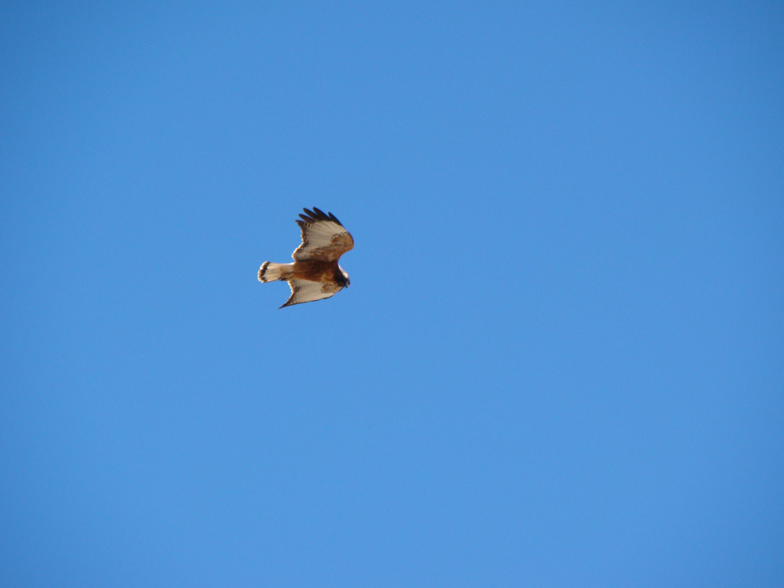 Scientific Name: Red-backed Hawk - Photo: Rodrigo de Piérola