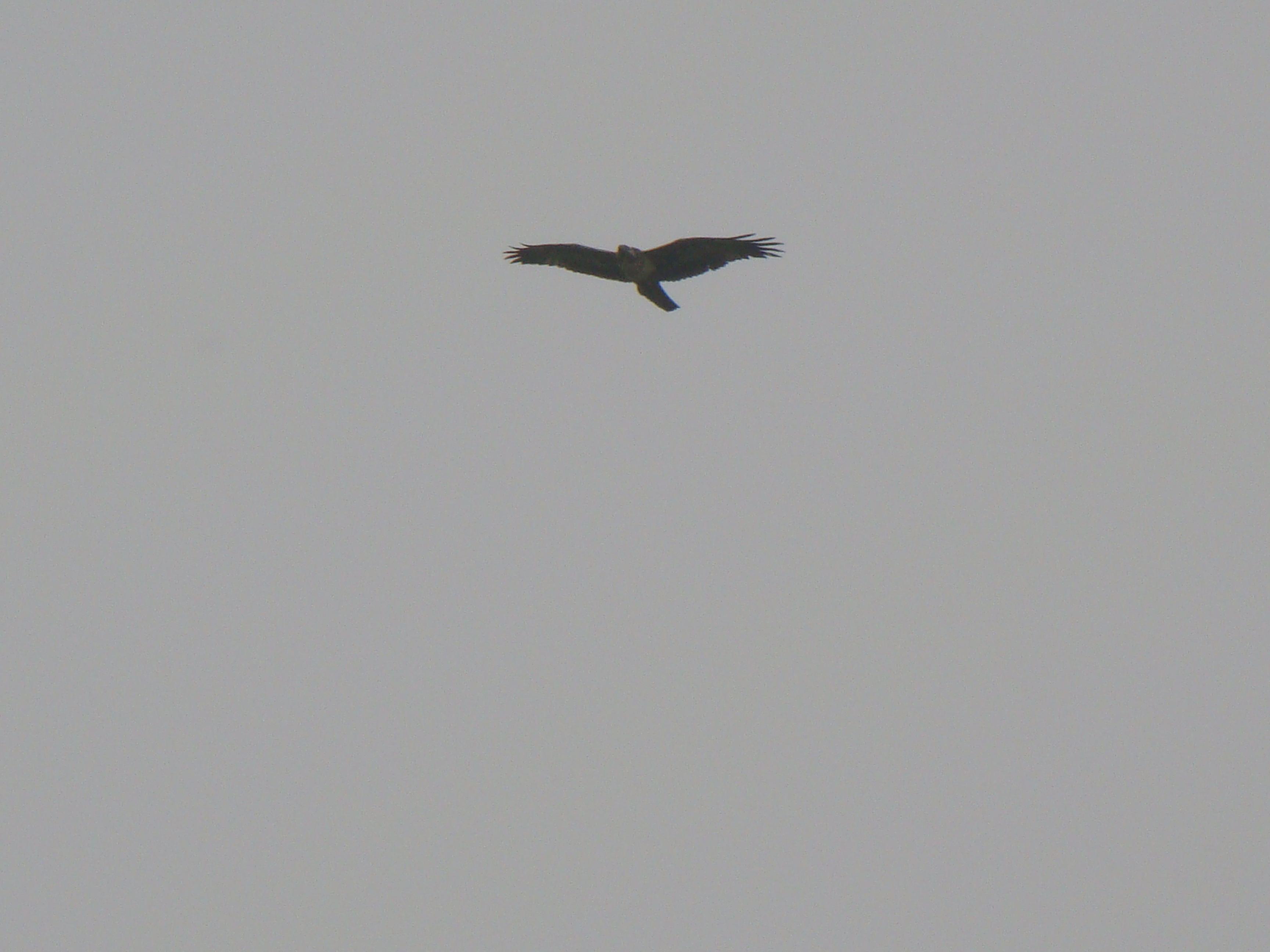 Scientific Name: Black-chested Buzzard-Eagle - Photo: Rodrigo de Piérola