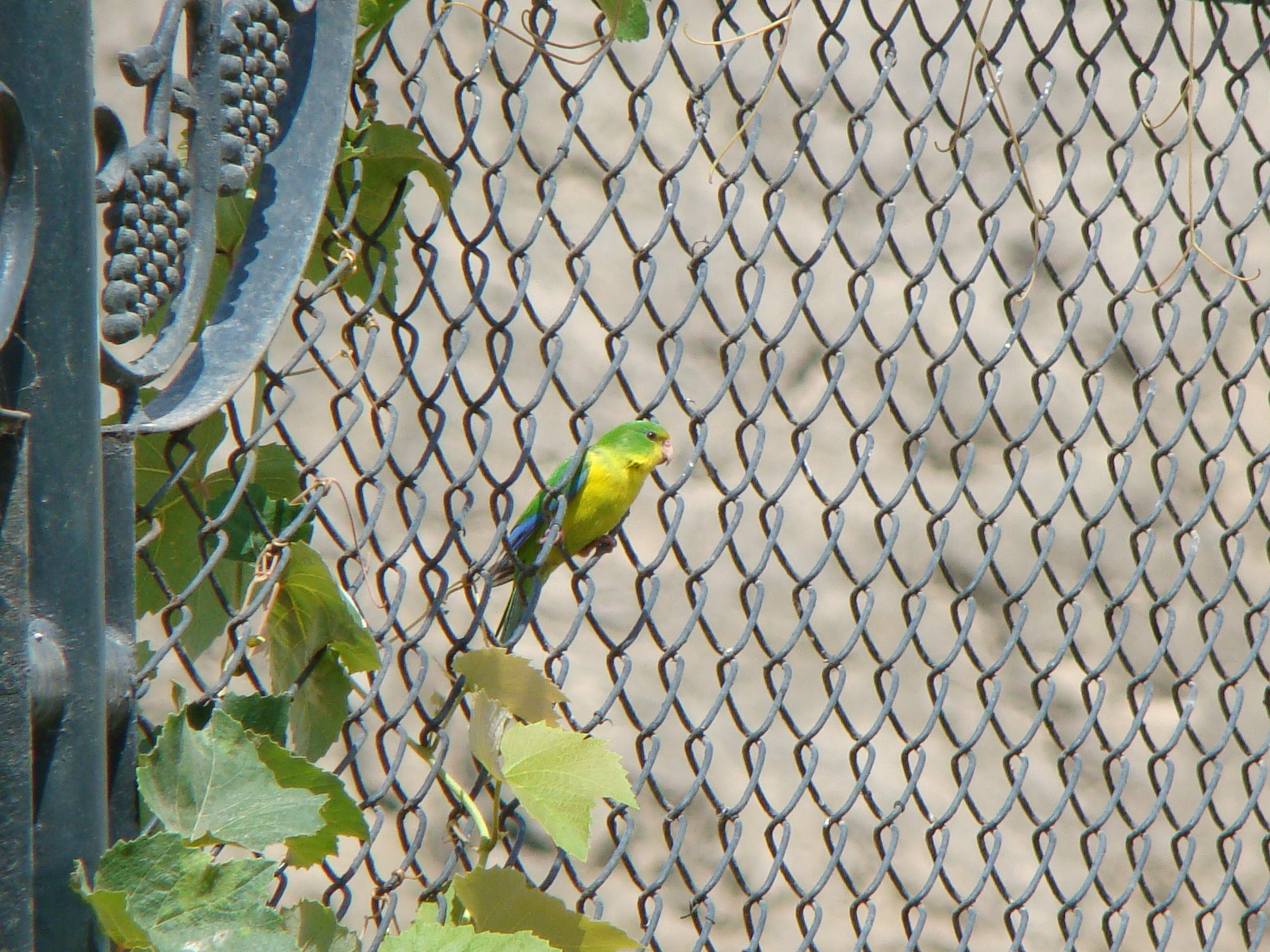Scientific Name: Andean Parakeet - Photo: Rodrigo de Piérola