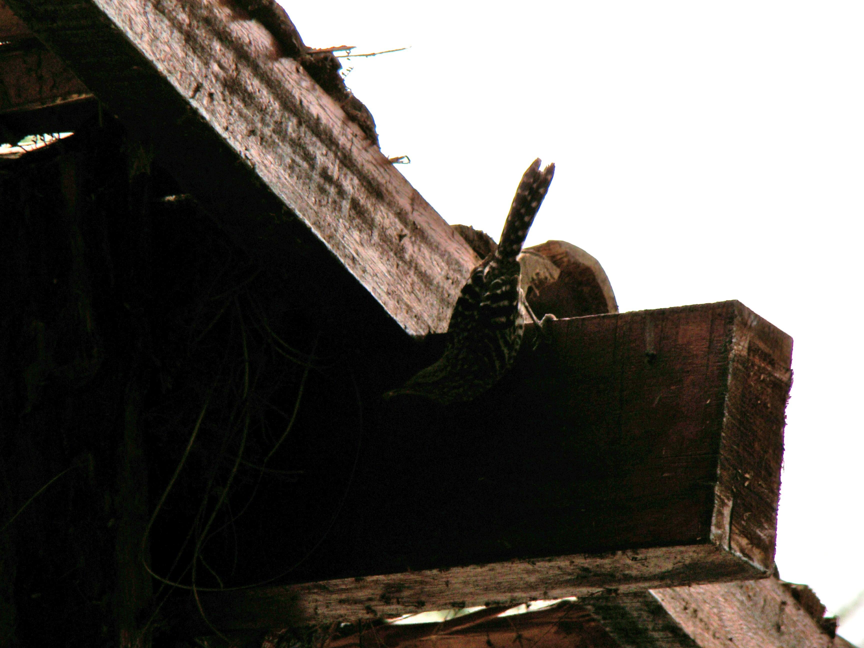 Scientific Name: Fasciated Wren - Photo: Rodrigo de Piérola