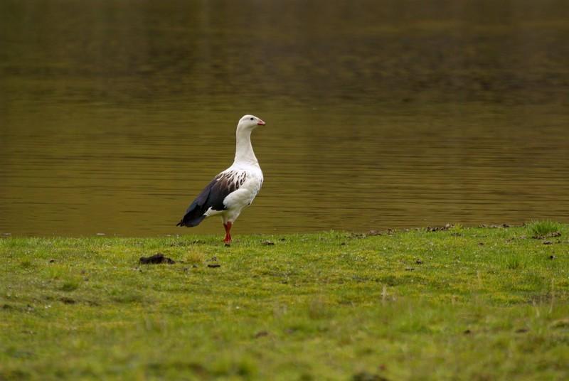 Scientific Name: Andean Goose - Photo: Fernando León