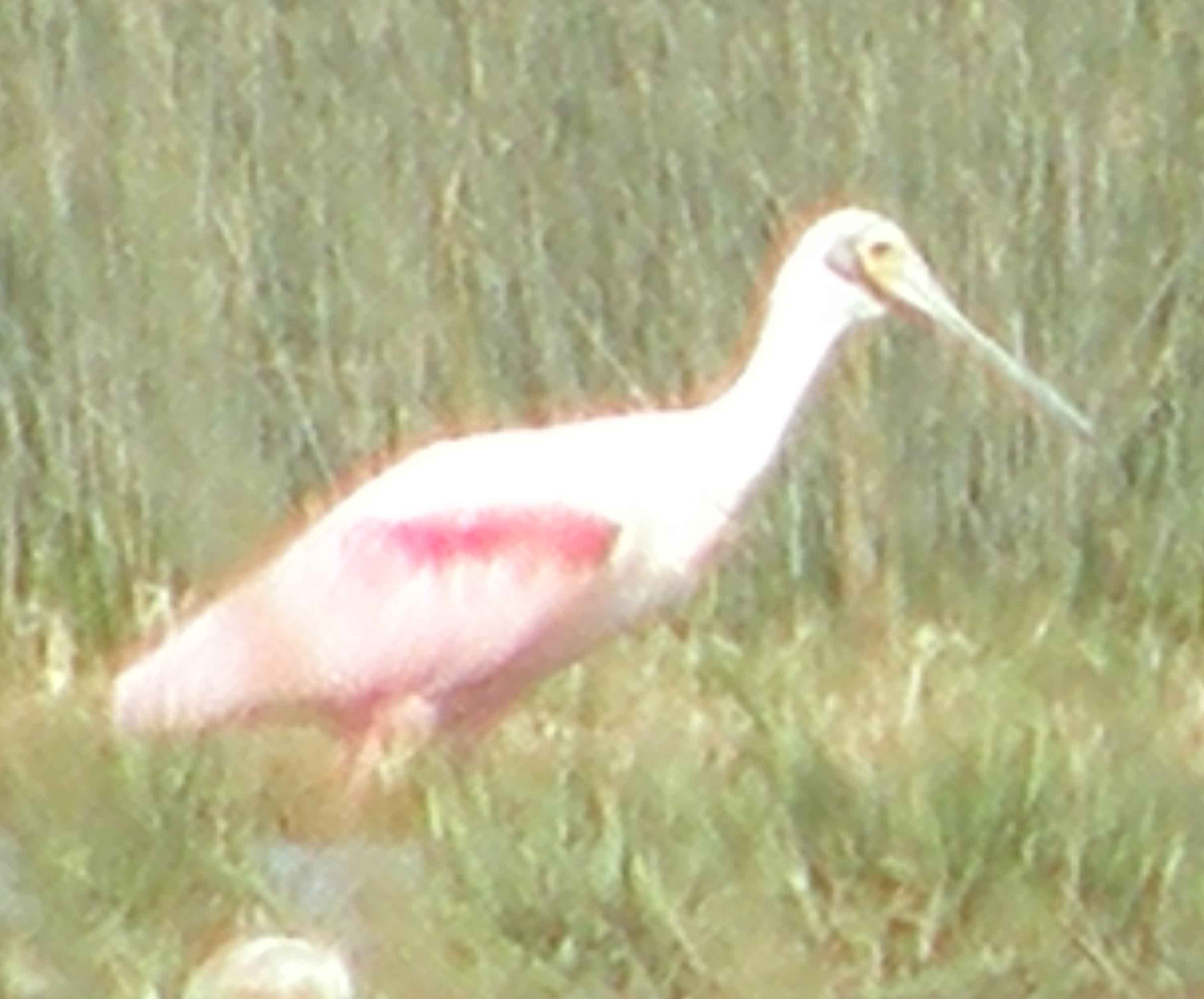 Scientific Name: Roseate Spoonbill - Photo: Julissa Arenas Espinoza