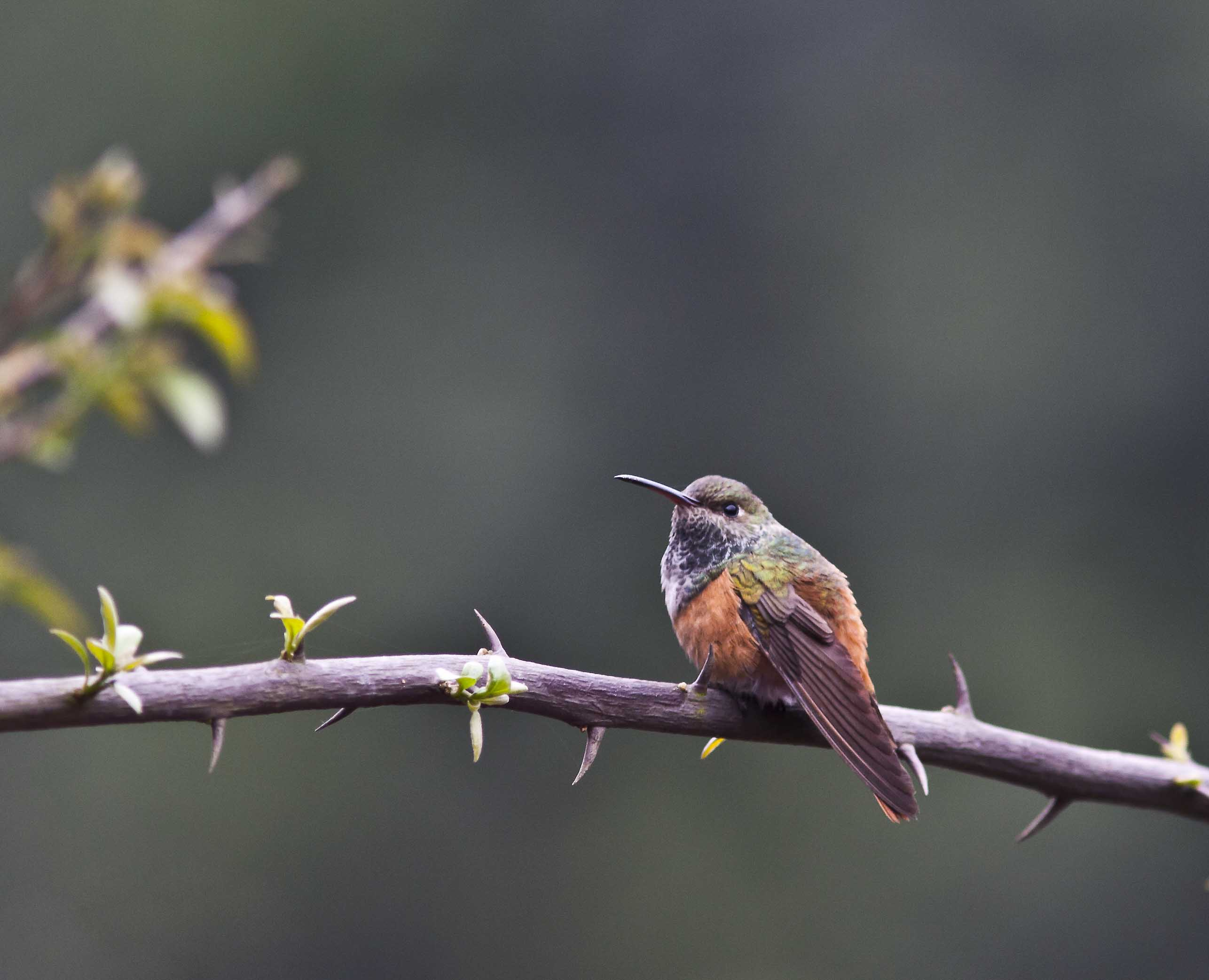 Scientific Name: Amazilia Hummingbird - Photo: Melissa Paredes Berrocal