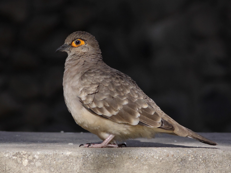 Scientific Name: Bare-faced Ground-Dove - Photo: Peter de Haas