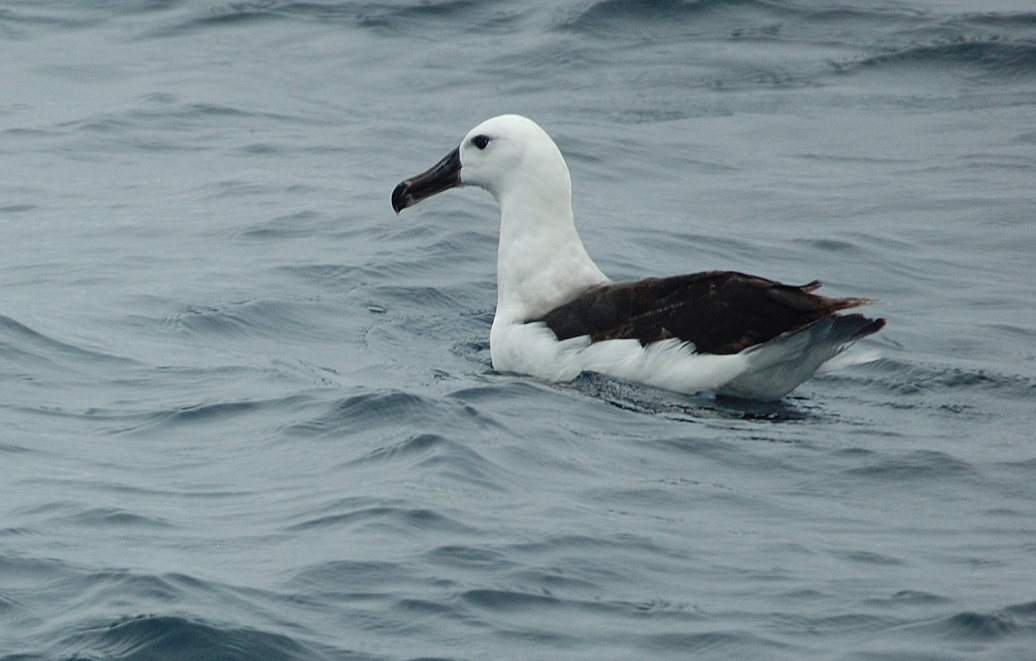 Scientific Name: Black-browed Albatross - Photo: Gunnar Engblom
