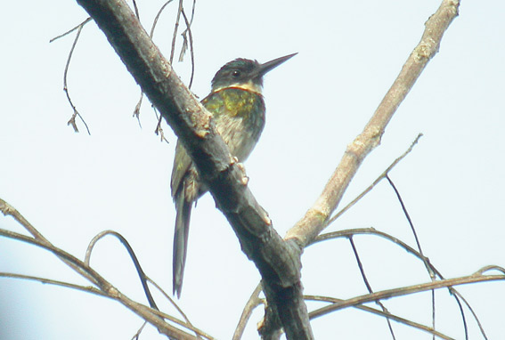 Scientific Name: Purplish Jacamar - Photo: Victor Martinez