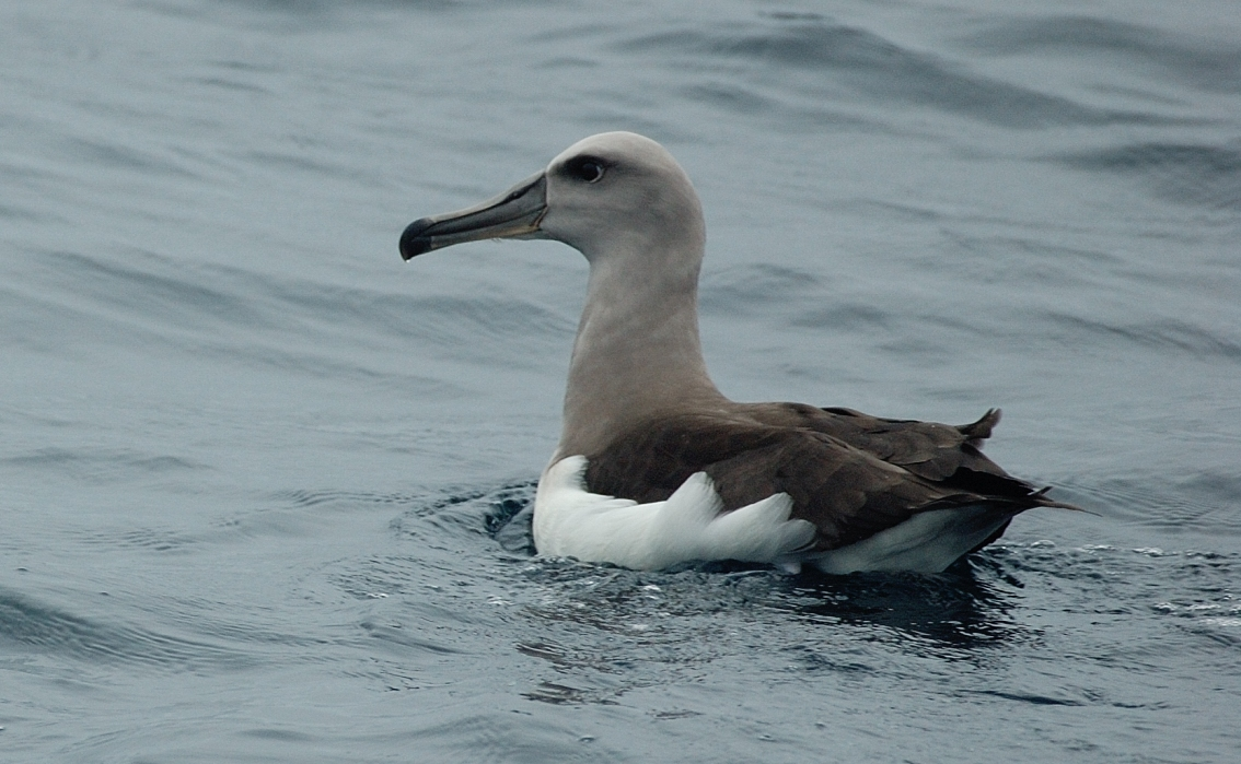 Scientific Name: Buller´s Albatross - Photo: Ernesto Malaga Arenas