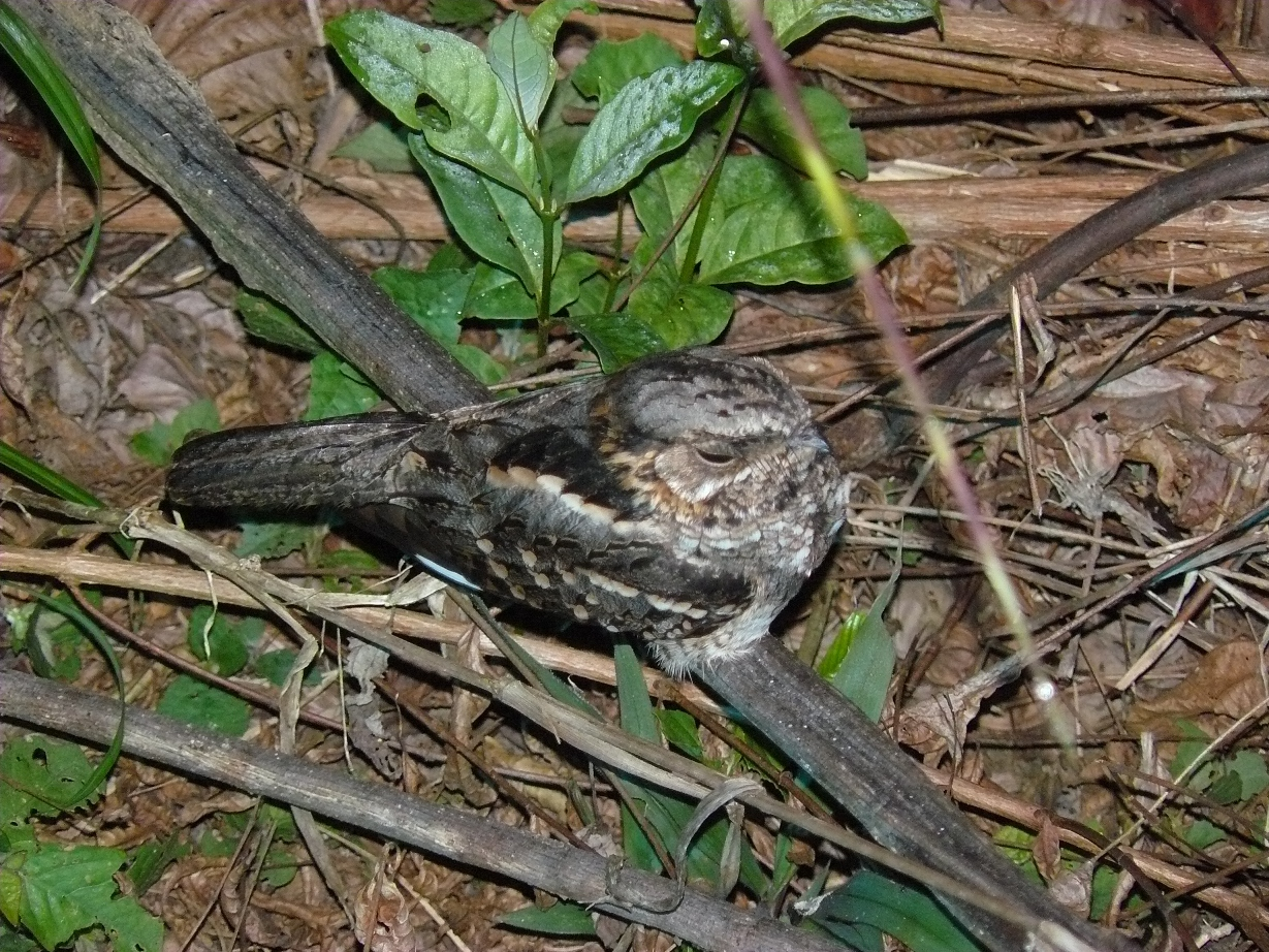 Scientific Name: Little Nightjar