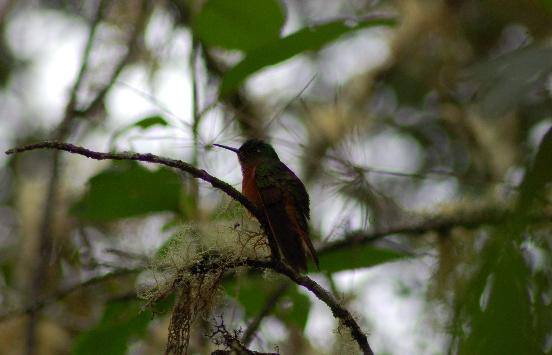 Scientific Name: Chestnut-breasted Coronet - Photo: Diego Garcia Olaechea