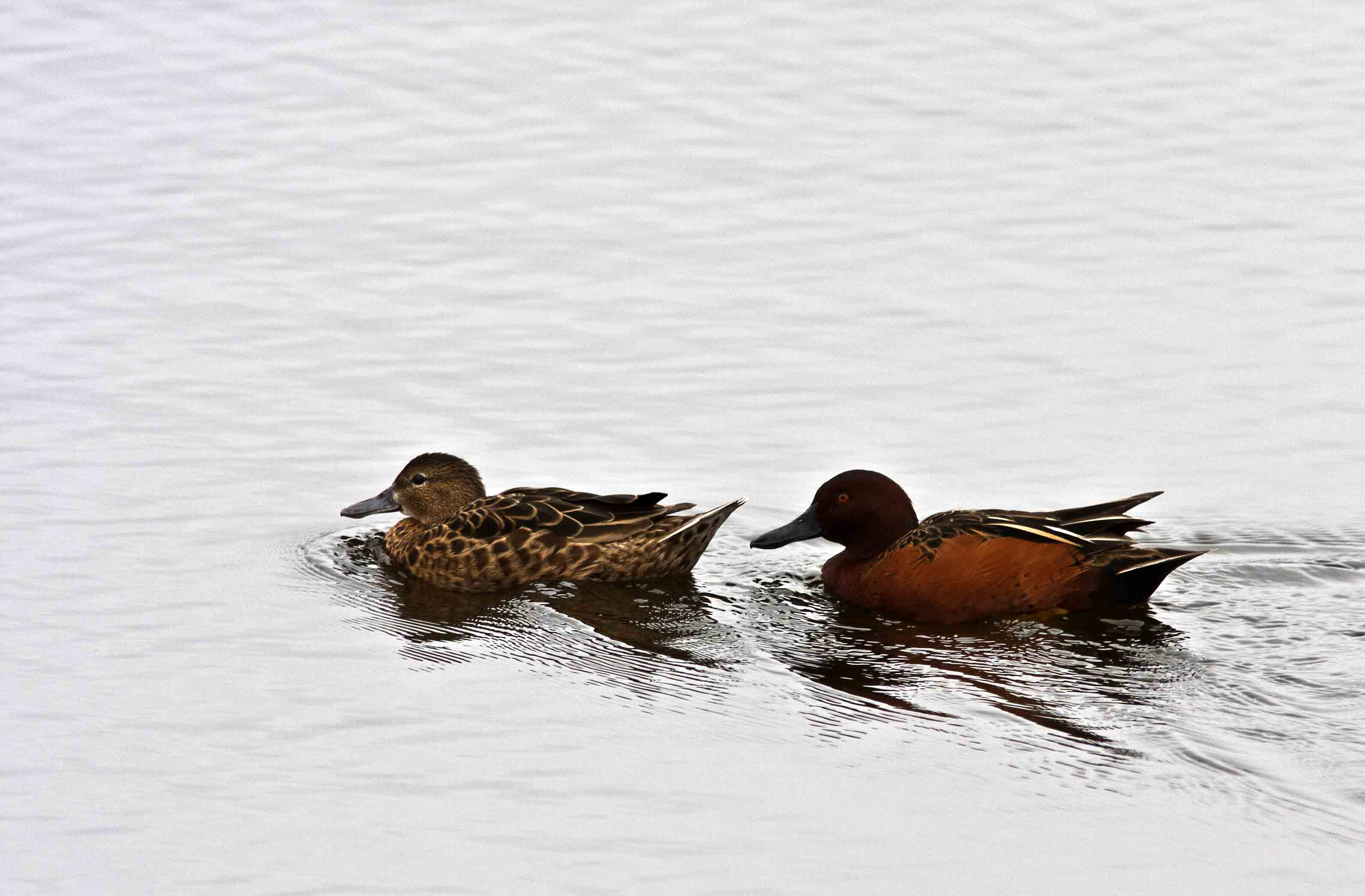 Scientific Name: Cinnamon Teal - Photo: Peter de Haas