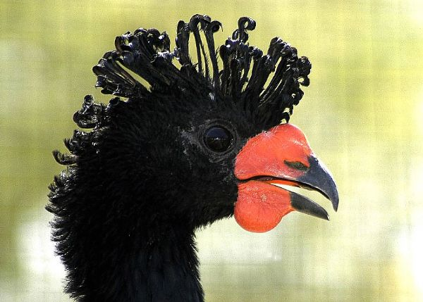Image from Birding Peru