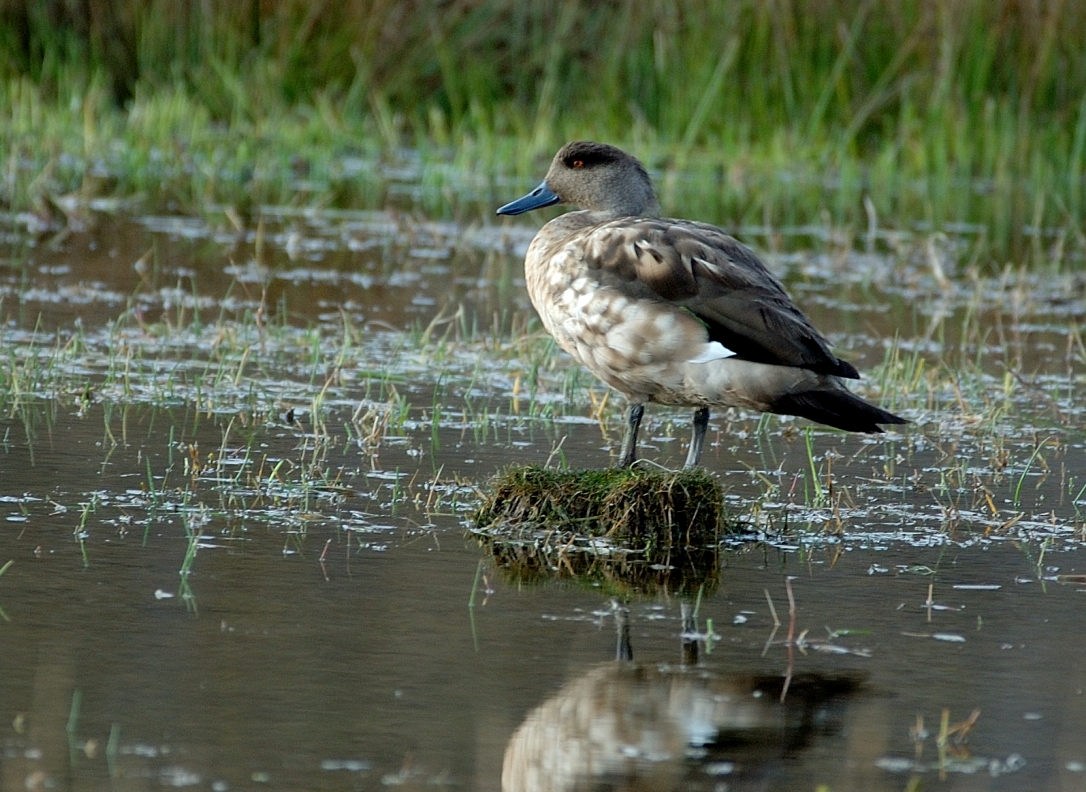 Scientific Name: Crested Duck - Photo: Juan Jose Chalco