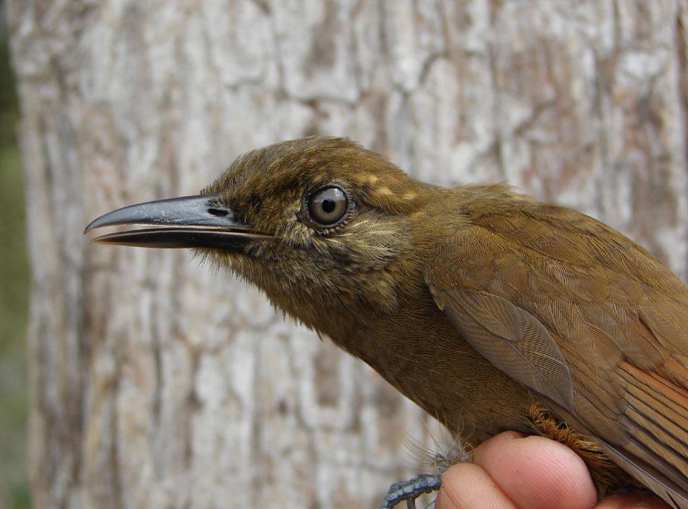 Scientific Name: Northern Plain-brown Woodcreeper - Photo: Alexander More