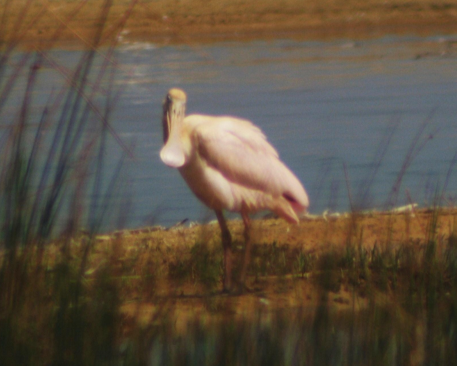 Scientific Name: Roseate Spoonbill - Photo: elisban arturo